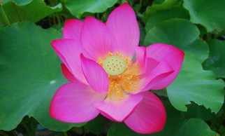 a pod in the center of a lotus