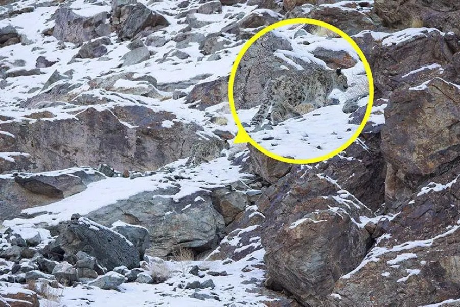 A snow leopard is seen, highlighted and magnified in yellow, camouflaged against a mountain near the Indian Himalayas – Can You Spot the Snow Leopards in These Photos;