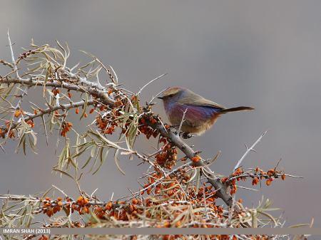 White-browed Tit-warbler (Leptopoecile sophiae), Murtazabad, Hunza