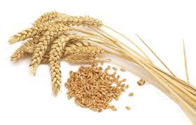 Gilgit: Wheat price increased by 1.5 rupees per kilogram