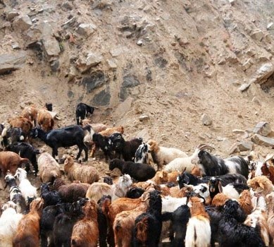 Chilas: The curious case of '900 stolen goats and sheep'