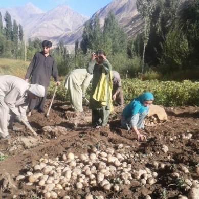 Pakistan confronts the curse of potato success