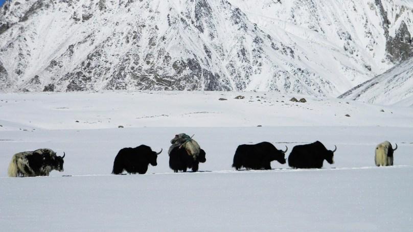 Ten stunning photographs of the Yaks of Shimshal Valley