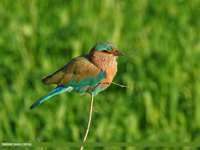 Indian Roller (Coracias benghalensis) captured at Head Marala, Punjab, Pakistan
