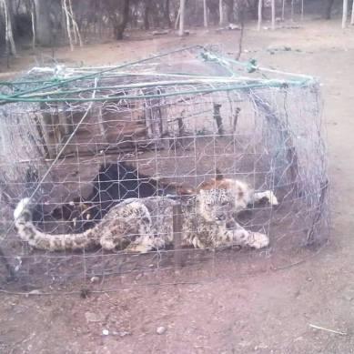 Locals capture Snow Leopard in Misgar Valley