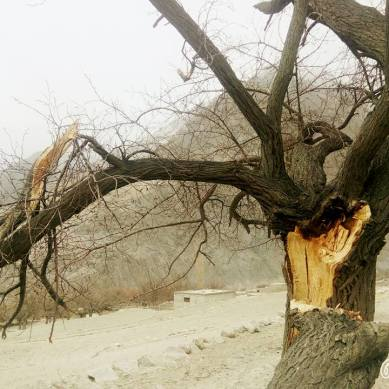 Strong winds tear down trees in Gojal Valley, Hunza