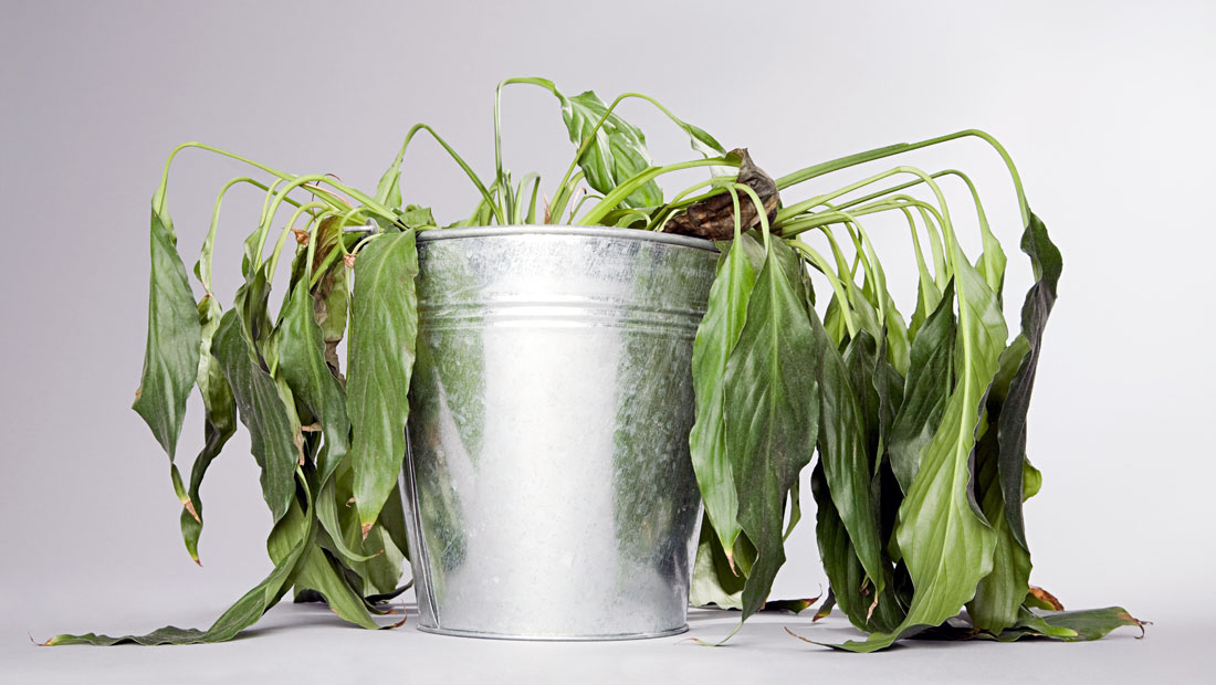 droopy house plant