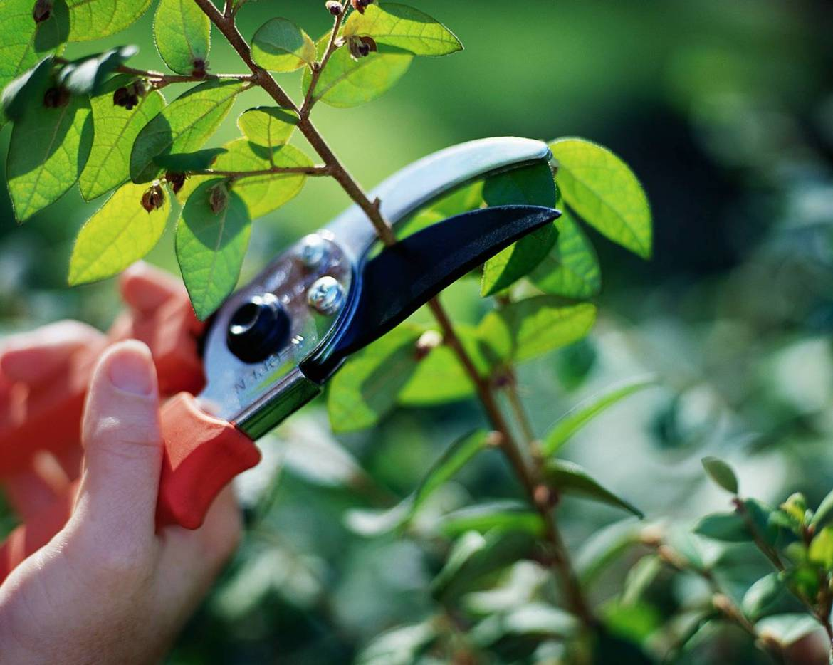 Pruning a branch
