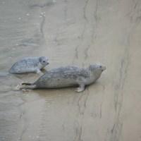 Tagged Harbor Seal - Alsea Bay, Oregon