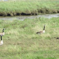 Nesting Canada Geese