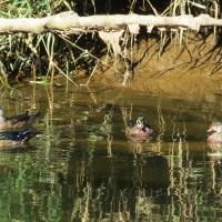 Wood Ducks on the Alsea River