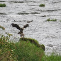 Eagle Alert!