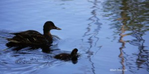 Mama and baby duck