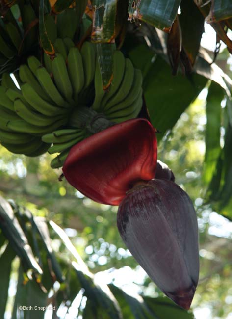 Bananas and banana flower