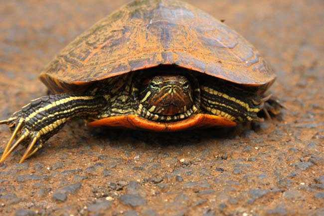 Kauai turtle