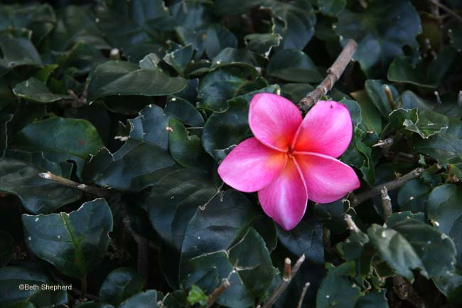 Pink Plumeria Kauai