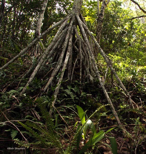 Teepee tree roots