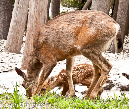 Mother deer and fawn, Mt. Rainier