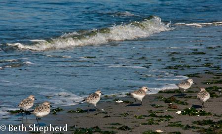 Shore birds, Discovery Park