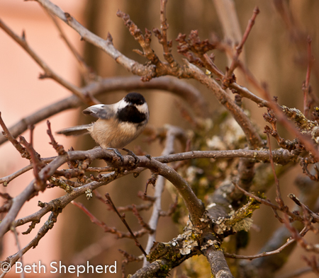 Chickadee airing his wing