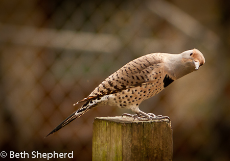 Flicker on the fencepost