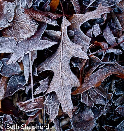 Leaves and frost 2