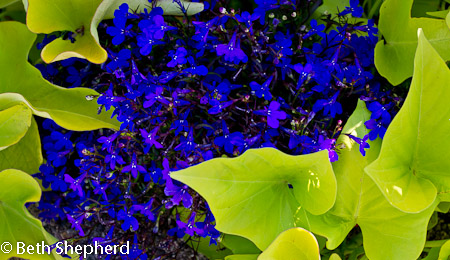 Volunteer Park Blue flowers and green leaves