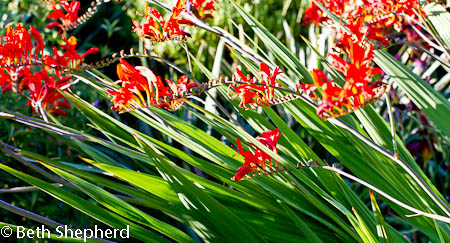 Volunteer Park crocosmia and grass