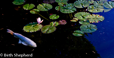 White carp and lily pads