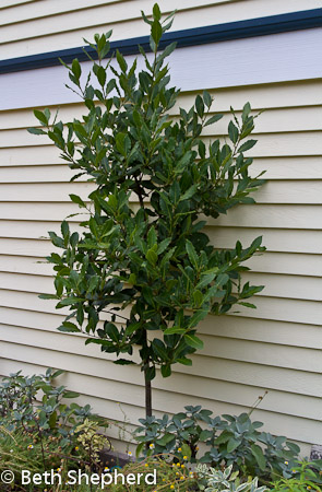 Bay Laurel tree