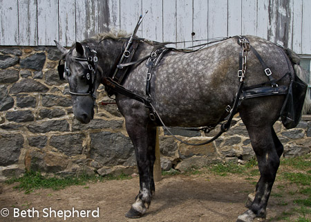Victorian Carriage Company horse