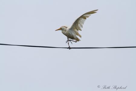 White crane on a phone wire