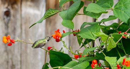 Hummingbird on runer bean