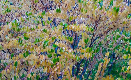 Katsura trees in fall