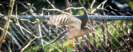 Seattle hawk