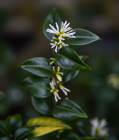 Sarcococca, the fist sign of spring