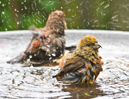 Male and female crossbills