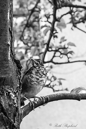 Baby robin on branch