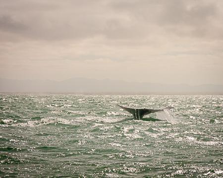 Baja California whale