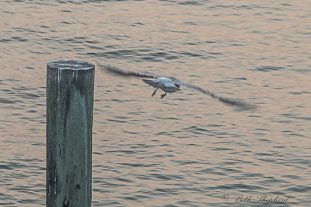 Seagull soars