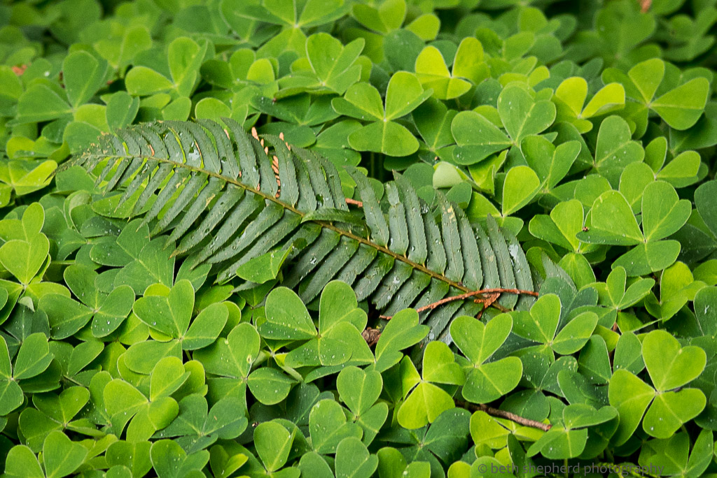 Shamrocks and fern