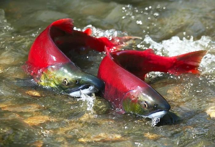 Судағы лосось
