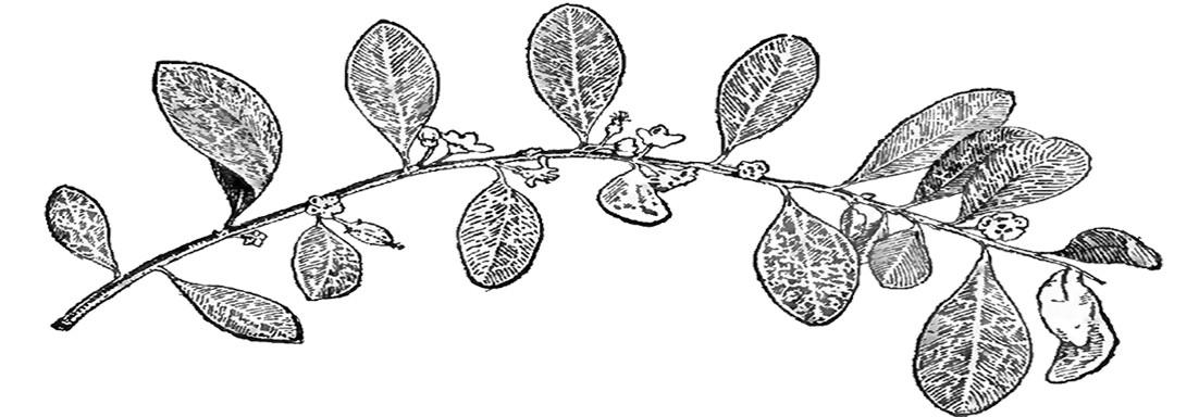 panaceachronicles   Pure, Natural Coca Leaf