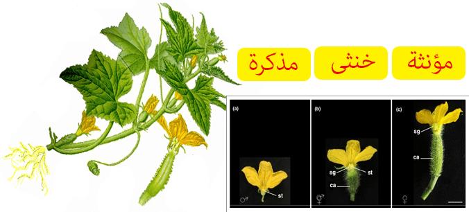 الوصف النباتي لنبات الخيار