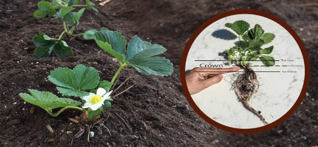 زراعة الفراولة بالتربة