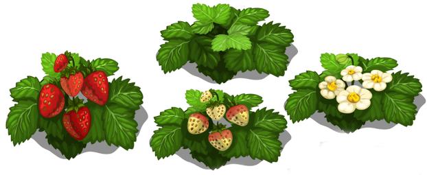 نضج ثمار الفراولة