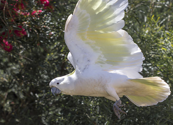 Cockatoos flying wild. Better than seagulls.