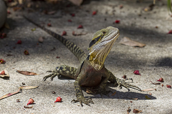These lizards weren't actually exhibits at the sanctuary, they appear to live there voluntarily.