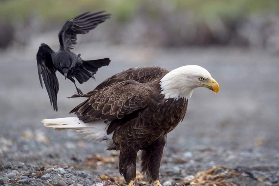 Bald Eagle—Anchor Point