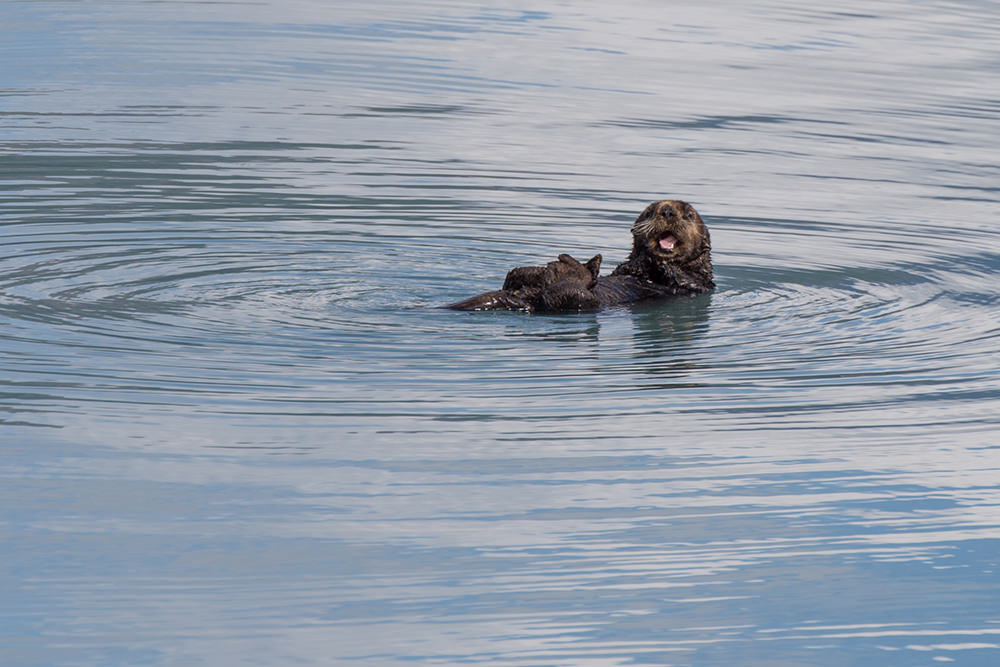 Sea otter, from very far away